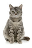 Tabby Royalty Free Stock Photo