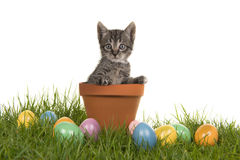 Tabby baby cat kitten in a flower pot on green grass and colored easter eggs Stock Photography