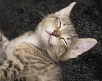 Tabby baby cat sleeping on its back with eyes closed on a black. Velvet blanket Stock Images