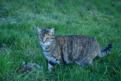 Tabby barn cat hunting in a lush pasture Stock Photography
