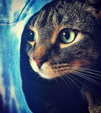 On lookout. Tabby Bengal mix cat looking out of her homemade cat cave animal pet feline cat domestic cat royalty free stock photo