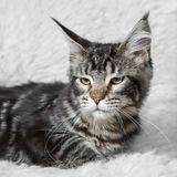 Tabby black maine cone cat posing on white background fur Royalty Free Stock Image