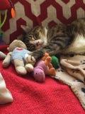 Tabby Boy Cat com Teddy Bear Foto de Stock Royalty Free