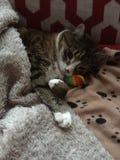 Tabby Boy Cat with Teddy Bear Stock Photo