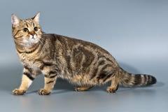 Tabby britannico dello shorthair del gatto Immagini Stock Libere da Diritti