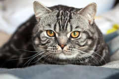 Tabby British Cat. Close-up british shorthair cat with the classic tabby markings Stock Photography