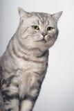 Tabby British Cat Royalty Free Stock Photography