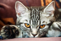 Tabby British Kitten Stock Images