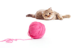 Tabby british kitten playing red clew isolated Stock Images