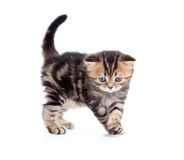 Tabby british little kitten front view isolated Stock Images
