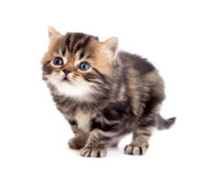 Tabby british little kitten looking up isolated Royalty Free Stock Photography