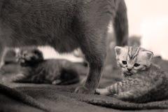 Tabby British Shorthair kitten Royalty Free Stock Images