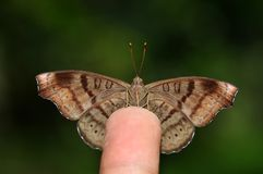 Tabby butterfly on finger. Of Thailand background Stock Photography