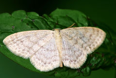 Tabby butterfly (Pleuroptya ruralis) Stock Image