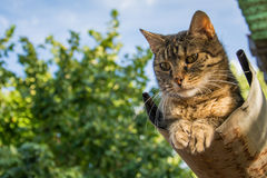 Tabby calm cat resting on the shiver roof.  Royalty Free Stock Photo