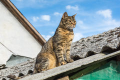 Tabby calm cat sitting on the shiver roof.  Royalty Free Stock Photography