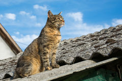 Tabby calm cat sitting on the shiver roof.  Royalty Free Stock Images