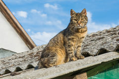 Tabby calm cat sitting on the shiver roof.  Stock Image