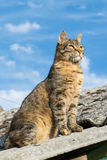 Tabby calm cat sitting on the shiver roof.  Royalty Free Stock Photo