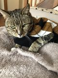 Tabby Cat är stilig i argyletröja arkivbild