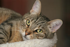 Tabby Cat. Domestic tabby cat Stock Photos