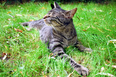 Tabby cat. Resting on the grass Stock Image