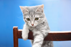 Tabby-cat. Tabby cat at blue background stock photography