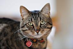 Tabby Cat. Lovely warm tabby cat looking into camera Royalty Free Stock Photo