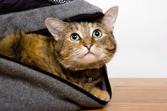 Tabby Cat. Curious young tabby cat hiding in a bag and looking up Stock Images