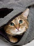 Tabby Cat. Curious young tabby cat hiding in a bag and looking up with big green eyes Stock Image