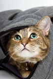 Tabby Cat. Curious young tabby cat hiding in a bag and looking up Royalty Free Stock Images