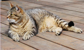 Free Tabby Cat Stock Image - 15878991