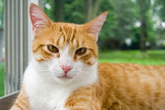 Tabby cat Royalty Free Stock Photography