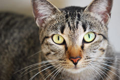 Tabby Cat. A closeup photo of a cat looking directly at the camera Stock Photography