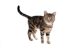 Tabby Cat. A tabby cat isolated on white Stock Photo