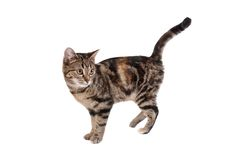 Tabby Cat. A tabby cat isolated on white Royalty Free Stock Photography