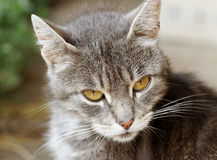 Tabby cat. Royalty Free Stock Photography