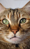 Tabby cat. Cat looking straight into camera Royalty Free Stock Image