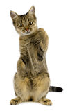 Tabby cat. Young tabby cat isolated on white royalty free stock photography