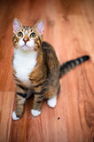 Tabby cat. An adorable adopted tabby cat with big eyes looking at the camera stock image