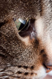 Tabby cat. A macro that shows a detail of the face of the cat. in particular the green of the iris of the eye royalty free stock image