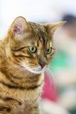Tabby cat. Green-eyed tabby cat gazing downward Royalty Free Stock Photos