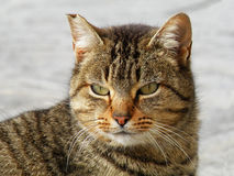 Tabby cat. With green eyes Stock Photo
