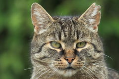 Tabby cat. The detail of tabby cat royalty free stock images