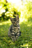 Tabby cat. In the garden in a sunny day royalty free stock photography