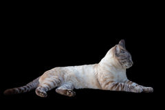 Tabby cat. Side view of tabby cat on black background royalty free stock image