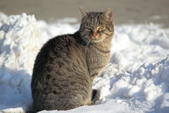 Tabby cat. The tabby cat sitting in snow royalty free stock photo