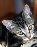 Tabby Cat. A close up shot of a kitten Stock Photos