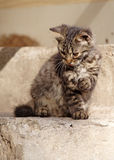 Tabby cat. A tabby cat waiting Stock Photos