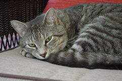 Tabby Cat Royaltyfria Foton